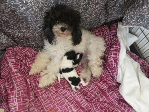 Chiots caniches bicolores